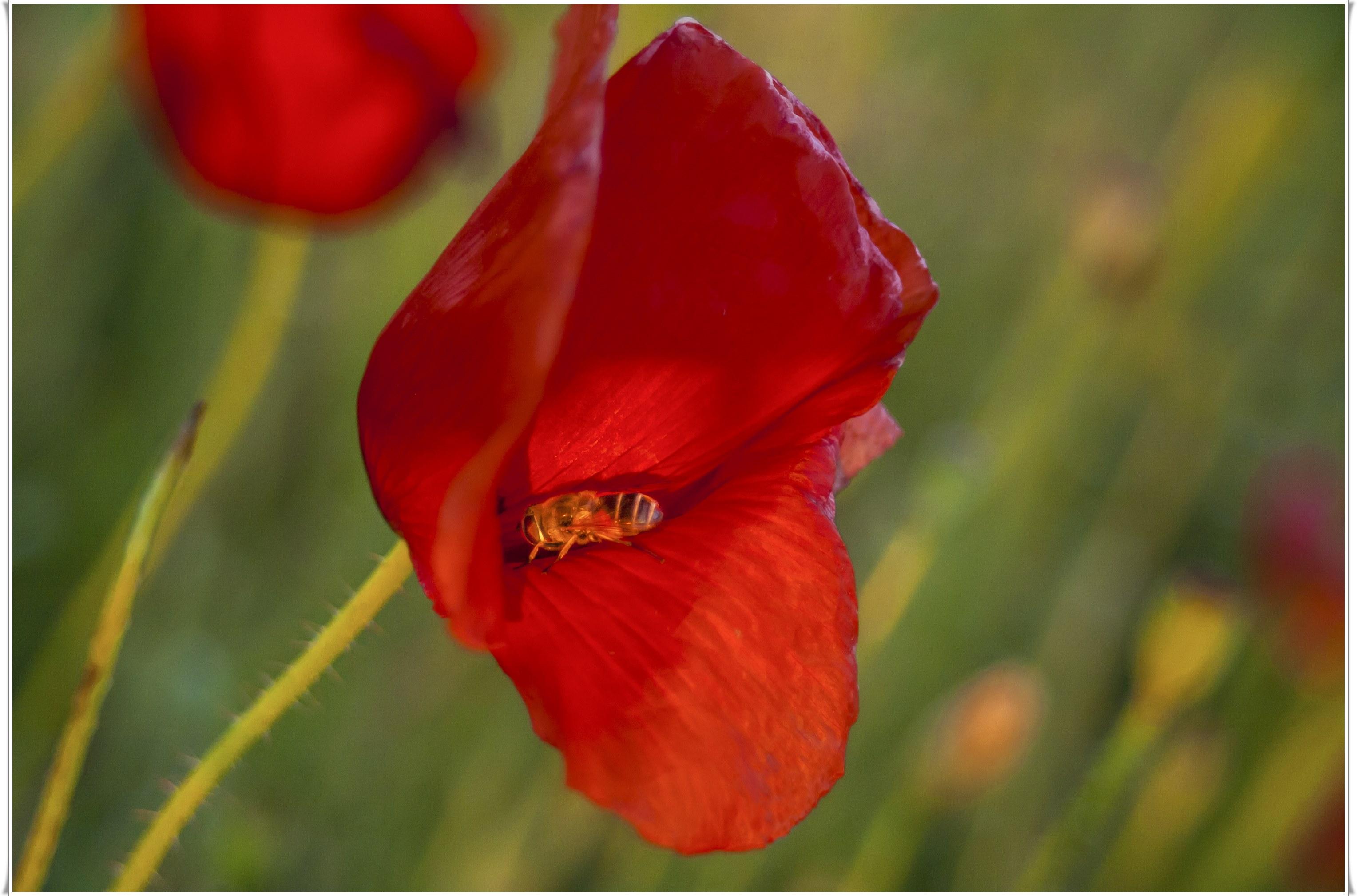 Marko Embreus - Pcela na cvijetu maka