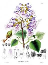 paulovnija botanika