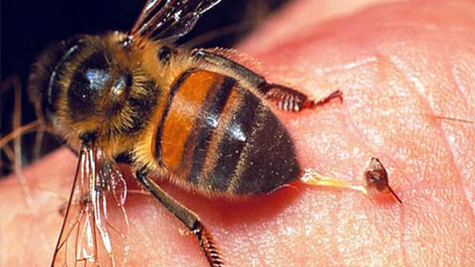 PČELINJI OTROV I REAKCIJE NA UBOD - Pčelari BujštinePčelari Bujštine
